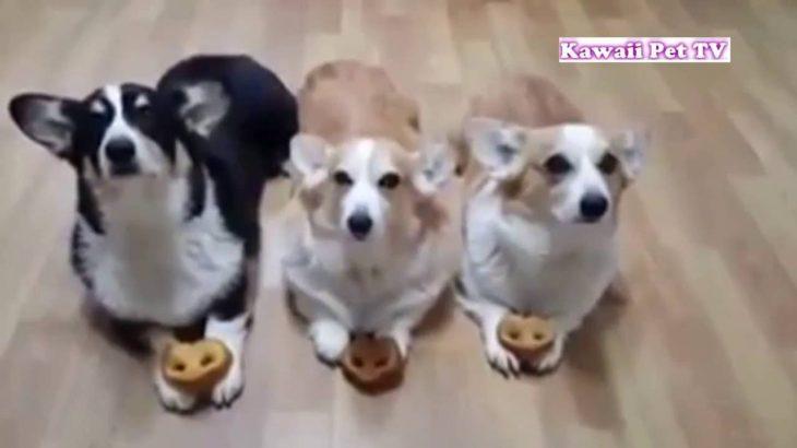 「おもしろ犬 」思わずに笑っちゃう犬の動画HD – 2016。面白すぎる #2