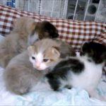猫好きはたまらない! すごくかわいい子猫 生後13日目の子猫・・・うちの猫ちゃんたちカワイイTV