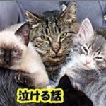 猫の感動実話・病気で余命をほとんど使い果たした老猫と子猫のお話・招き猫ちゃんねる
