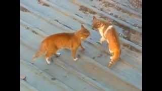 ネコのケンカ 本気な猫のケンカ