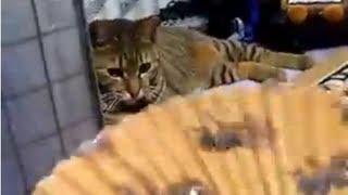 ☆扇子で猫をあおいでみた♪ (cute cat、ねこ、ネコ、ペット、動画、動物、youtube、video)