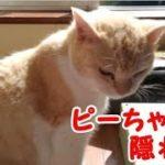 猫の隠れ家 穴倉で寝る猫ピーちゃん 呼ぶと出てくる可愛い猫・・・うちの猫ちゃんたちカワイイTV