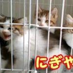 ケージの中で鳴く可愛い子猫達 もうすぐ里親さんが迎えに来ます~生後2ヵ月 67日目・・・うちの猫ちゃんたちカワイイTV