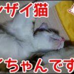 バンザイで寝る猫。【猫、おもしろ、かわいい】余計な字幕なし。