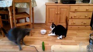 猫はキュウリを見るとビックリ飛び跳ねるww
