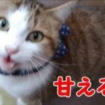 可愛い鳴き声で甘える猫 ボク 愛猫と猫語で楽しく会話・・・うちの猫ちゃんたちカワイイTV
