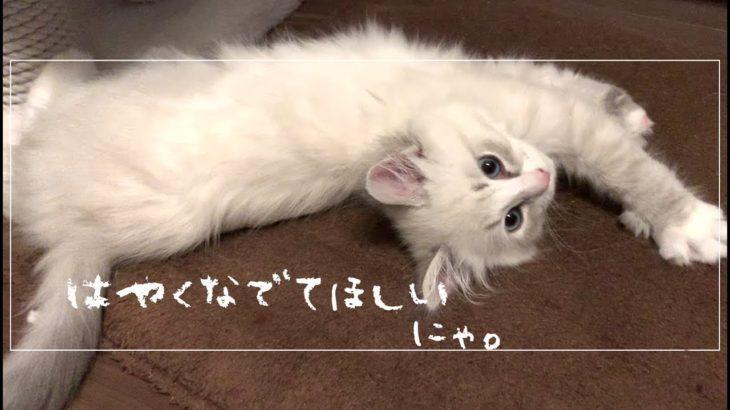 【猫】膝の上でひたすらゴロゴロする子猫がかわいい。