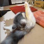 【オス猫の去勢手術】子猫「起きたらタマタマが無くなっていました」【はがね先生】