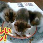子猫たち初めてのカリカリ 食べ方むちゃくちゃ‼でもかわいい子猫~生後47日目・・・うちの猫ちゃんたちカワイイTV