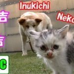 子猫のネコ吉が犬吉と初対面した結果‥(゚o゚;; Neko-Cat's very first meeting with Inu-kichi【Eng CC】