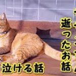 【感動 泣ける話】猫のサザエさんがお別れをしにきたお話(猫 感動 泣ける話 保護 涙腺崩壊 感涙 動物 動画 里親)招き猫ちゃんねる