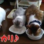 可愛い猫 カリカリを喜んで食べる猫たち 母猫ちゃしろんのカリカリを娘パンダが横取り・・・うちの猫ちゃんたちカワイイTV