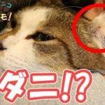 猫の耳にマダニが!?マイクロカメラでのぞいてみる – I looked at the ticks  of my cat's ears with a micro camera.