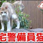 自宅警備員猫。庭の縄張り監視から帰宅します。It is home from garden monitoring cat.