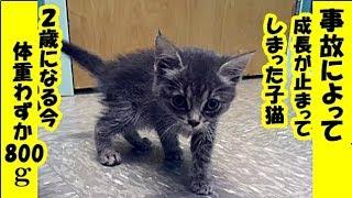 保護猫 障害・事故で子猫の大きさのまま成長が止まってしまった保護猫。怪我を乗り越えた姿に心が温まるお話・招き猫ちゃんねる