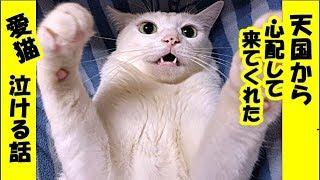 猫 不思議・天国から私を心配して慰めに来てくれた愛猫のお話・招き猫ちゃんねる