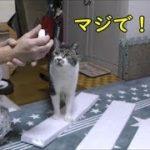リキちゃん面白ハプニング☆キャットタワー組み立て中の猫の様子をインターバル撮影で見る☆パパの胡散臭い手品【リキちゃんねる 猫動画】Cat video キジトラ猫との暮らし