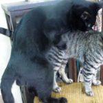 オス猫の交配練習