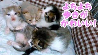 よちよち歩きの子猫に癒される!猫 かわいい 生後16日目の子猫 生後16日目の子猫たち。・・・うちの猫ちゃんたちカワイイTV