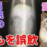 猫の紐誤飲から1週間。その後の体調と病院の見解について