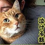【感動 泣ける話 猫 】事故で逝った兄が残した気 ままで ワガママな猫が家族皆を慰めるお 話(猫 感動 泣ける話 保護 涙腺崩壊 感 涙 動物 動画 里親)招き猫ちゃんねる