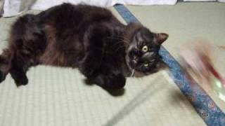 チンチラ 黒茶 里親募集 カワイイ子 イッパイ 猫の譲渡会 仔猫 ネコ