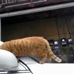 凄いとこを見せようとして失敗した猫の誤魔化し方があざとすぎる件