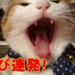 猫かわいい 大あくび!膝の上で眠そうにくつろぐ猫 ボクちゃん・・・うちの猫ちゃんたちカワイイTV