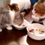 尻尾の毛を逆立ててご飯をカリカリ食べる猫 パンダ 猫可愛い・・・うちの猫ちゃんたちカワイイTV