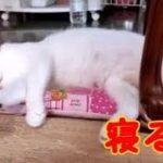 気持ちよさそうに寝る猫 ぷにぷに肉球 猫可愛い ちゃしろん・・・うちの猫ちゃんたちカワイイTV