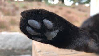 黒猫のぷにぷに肉球。可愛い猫動画