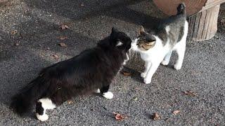 白黒ペルシャ猫と白サバ猫の鼻キス。可愛い猫動画