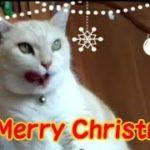 Merry Christmas! クリスマスなうちの可愛い猫 ・・・うちの猫ちゃんたちカワイイTV