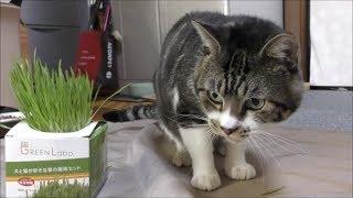 【閲覧注意】猫草が育ったので猫に食べさせてみたら・・・リキちゃんで草!爆食したら案の定な結果に☆猫草大好きな猫【リキちゃんねる 猫動画】Cat video キジトラ猫との暮らし