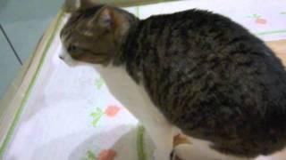 しゃべるネコ「おはよー!」 :かわいい猫動画