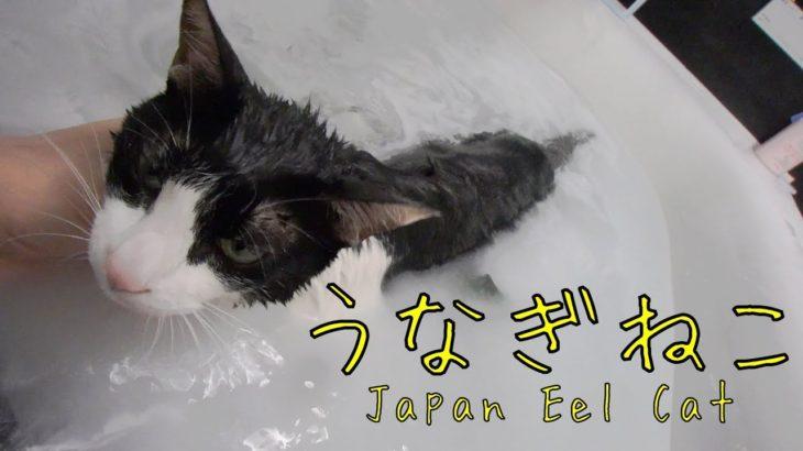 ながぁ~い、うなぎねこ – Wet Long cat is Long –