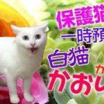 白猫かおりんの想い出 保護猫一時預かりできた美しい子猫 #かおりん #白猫