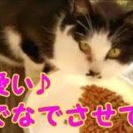 カリカリを喜んで食べる猫 なでなでしたい!可愛い猫・・・うちの猫ちゃんたちカワイイTV