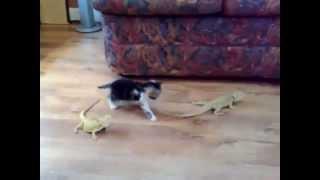 イグアナにビックリするかわいい猫