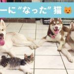ハスキーに育てられた猫ちゃん🐱 一緒に生活をしているうちにハスキーのようになりました💕【PECO TV】