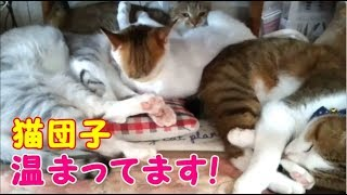 猫達が仲良く寄り添って猫団子 温まってます!  可愛い猫・・・うちの猫ちゃんたちカワイイTV