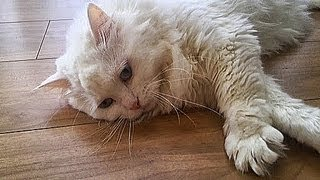 猫ちゃん よくしゃべる(笑)♥めちゃ甘える♥かわいい ねこ おもしろ動画