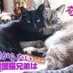 【Jean & Pont 1581】カ、カ、カワイイ保護猫兄妹(夫婦)自然に寄り添う 2018/12/21 #かわいい #仲良し#ジャン #ポン