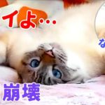 【悲報】飼い主にグーパンされて猫がひっくり返ってしまいました…