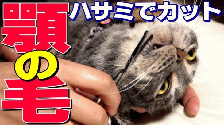 【猫ニキビ治療】今度はハサミで顎の毛カット!- How to treat feline acne –