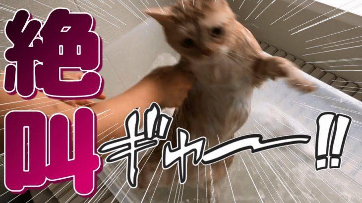 猫シャンプーで大絶叫!お風呂で暴れる!? – Cats just don't want to bathe –