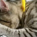 子猫のビビがチューチュー甘える・威嚇する・ハプニングも!?【コロコロ様子が変わる生配信】