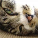 キャットタワーの上でまったりする猫☆鳴き声が可愛いリキちゃん☆【リキちゃんねる 猫動画】Cat video キジトラ猫との暮らし