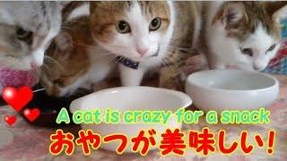 ネコ4匹 にぼしに大興奮! 猫用おやつ・・・うちの猫ちゃんたちカワイイTV
