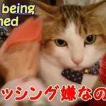 初めてのブラッシング 迷惑そうなネコ・・・うちの猫ちゃんたちカワイイTV